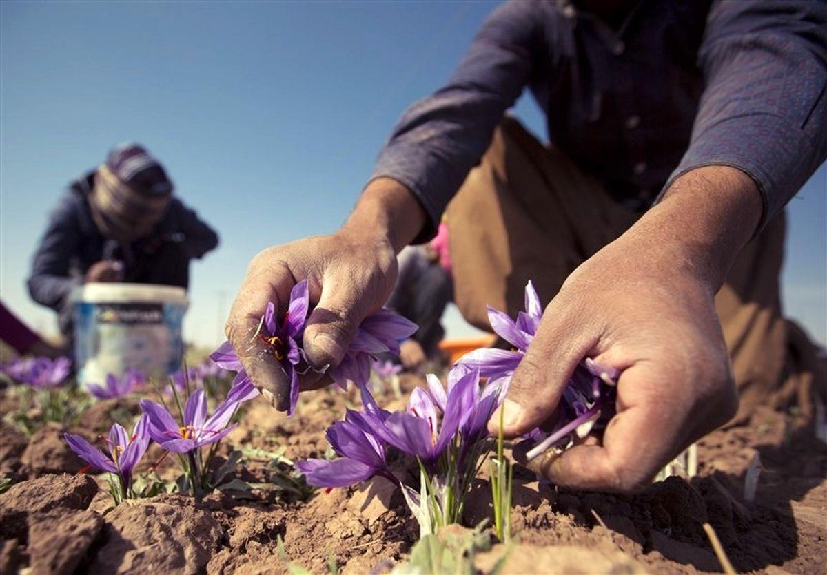 گل های زعفران در مسجدسلیمان شکفته شدند