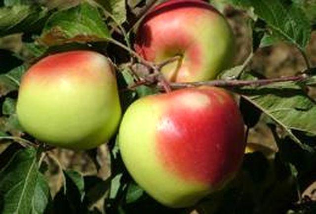 پرداخت 100 میلیارد ریال یارانه صادراتی به صادر کنندگان سیب درختی آذربایجان غربی