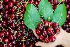 امسال بیش از 500 تن گیلاس در شهرستان طارم تولید می شود