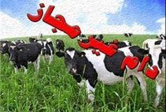 کشف 12 رأس گاو قاچاق در شهربابک