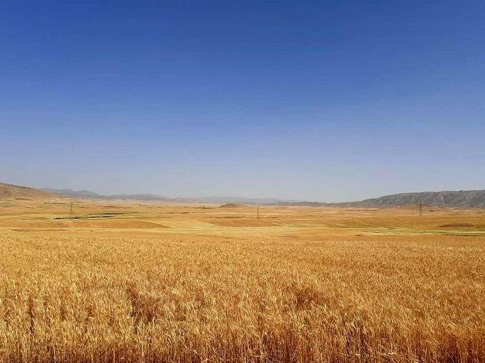 خرید تضمینی بیش از ۷۰ هزار تن  گندم در  لرستان تاکنون