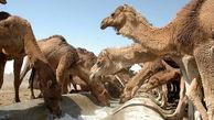 پرورش ۳۸۵ نفر شتر در آذربایجان غربی