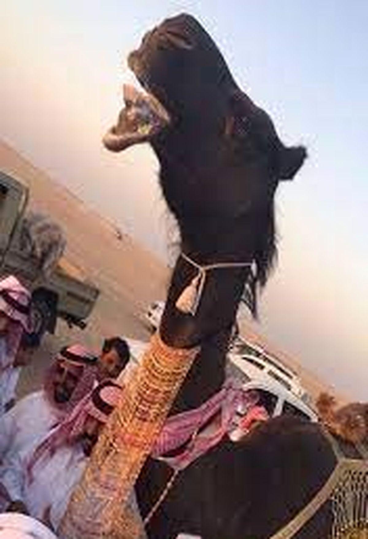 جوانان آرزو دارند با این شتر عجیب ازدواج کنند!