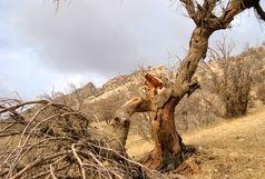 خشکیدگی  80 هزار هکتار جنگل بلوط در استان