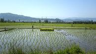 آمار تولید برنج ایرانی