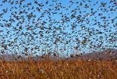 هجوم آفت ملخ و پروانه دم قهوه ای به 8500 هکتار اراضی منطقه طارم قزوین