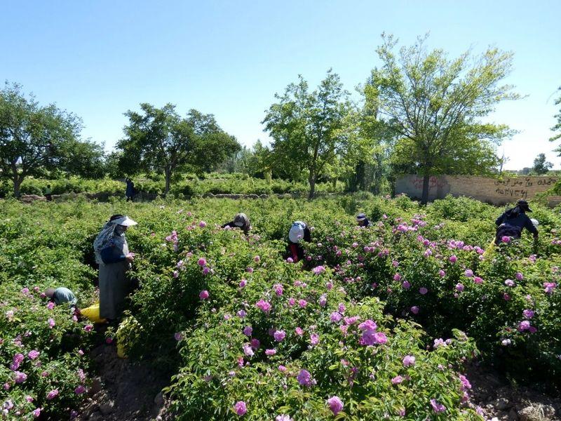روستای فرخد مراکز تولید گل محمدی