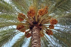 قوی ترین مجموعه فرآوری خرما جهان در شهرستان مهر