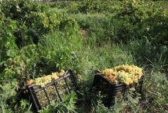 افزایش دو برابری برداشت انگور در قم