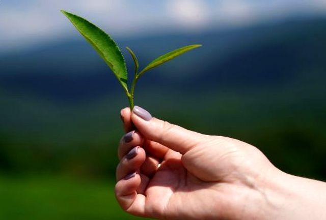کشف جدید/ برگ این میوه راه مقابله با سلول های سرطانی