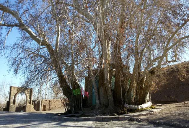 ثبت درخت کهنسال ارمیان میامی در فهرست میراث طبیعی ملی