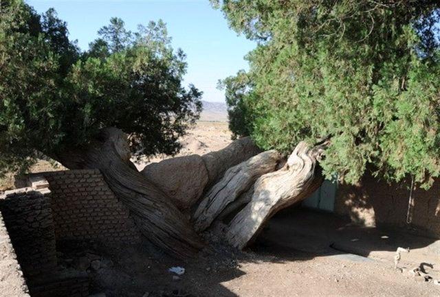 درختان سرو ۱۵۰۰ ساله قاینات مقصد گردشگران میشود