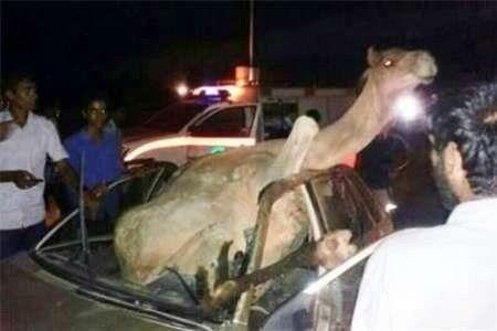 تصادف با شتر در جاسک بازهم قربانی گرفت