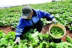 فعالیت ۳ واحد گلخانه ای کشت هیدروپونیک در شهرستان چالدران