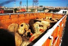 کشف ۱۰۹ راس دام قاچاق در زنجان