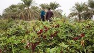 برداشت چای ترش در آبادان آغاز شد/رشد 21 برابری افزایش کشت در سال جاری