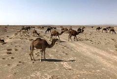 دوازده هزار نفر از شترهای استان مازاد بر ظرفیت مراتع هستند
