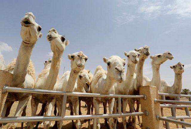 تاسیس بیمارستان شترها در عربستان سعودی