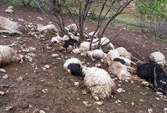 حمله گرگ ها به یک گله گوسفند در رضوانشهر