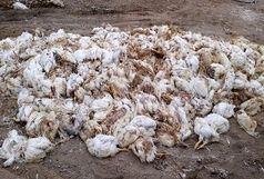 تلف شدن ۱۷ هزار قطعه مرغ در نایبند و مود