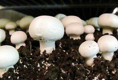 تولید سالانه بیش از سه هزار تن قارچ خوراکی در آذربایجان غربی