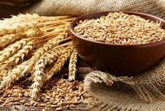 خرید تضمینی ۹هزار تن گندم در کهگیلویه و بویراحمد