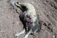 حمله 8  گرگ به گوسفندان چوپان  پلدختری