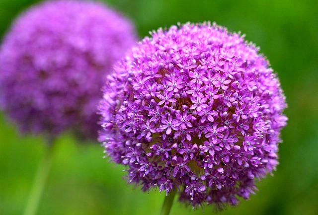 اگر عاشق رنگ بنفش هستید این ده گل زیبا انتخاب مناسبی برای شماست+عکس