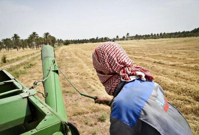 ۲۴ هزار هکتار سطح کشت گندم در شهرستان شادگان افزایش یافت
