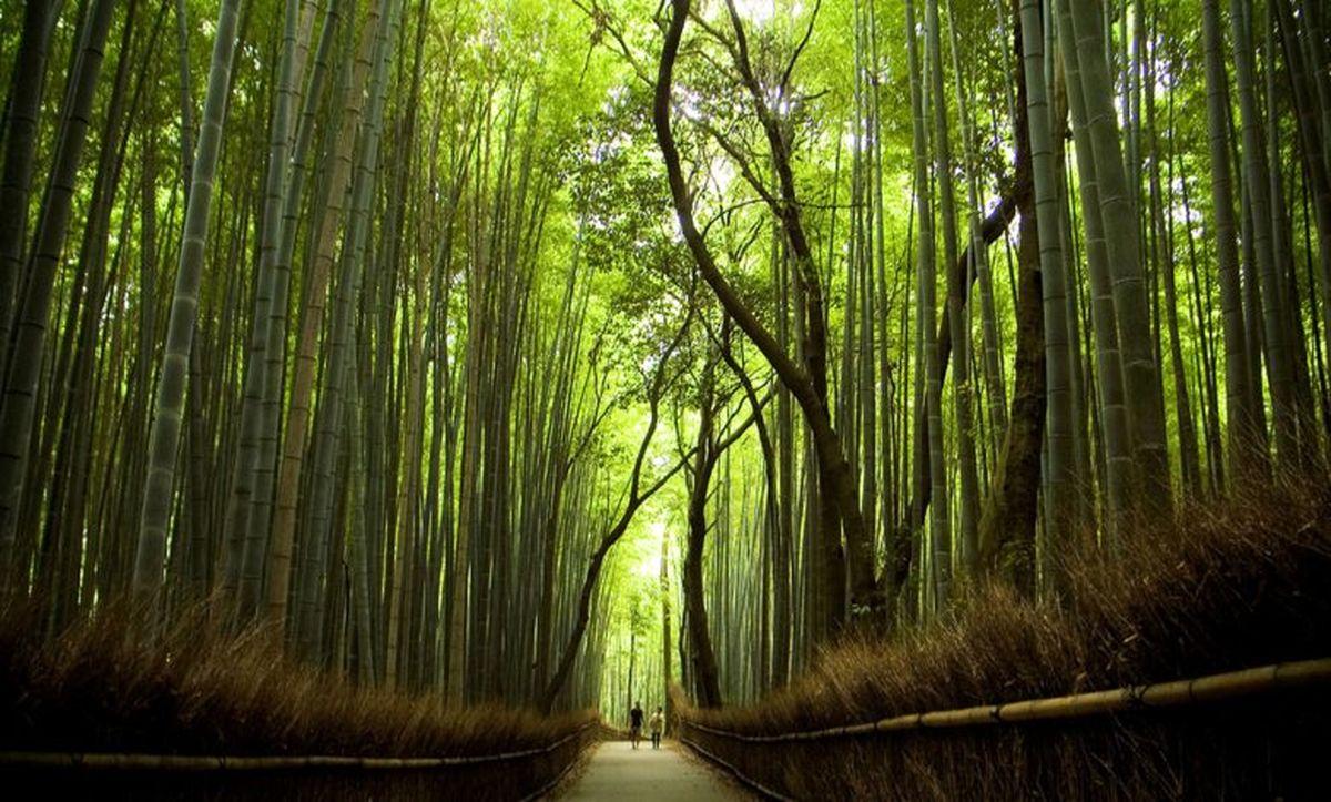 جنگل بامبو ها کجاست؟