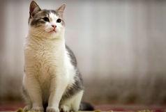 گربهها می توانند عامل انتقال ویروس کرونا باشند