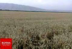 خرید بالغ بر ۶۱ هزار تن گندم مازاد بر نیاز کشاورزان لرستان /  خریداری ۶۷ تن دانه روغنی کلزا