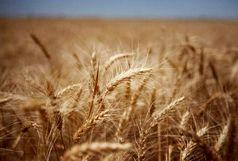 25 هکتار از اراضی گندم طعمه حریق شد