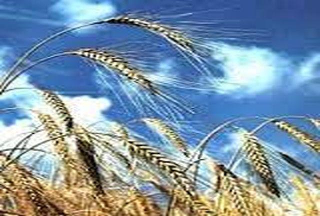 50 درصد از گندم تولیدی زنجان متعلق به  شهرستان خدابنده است