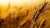 پیش بینی تولید ۶۲ هزار تن گندم و جو در شهرستان ارومیه