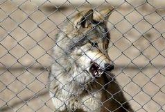 گرگها همه سرمایه پیرزن را خوردند!