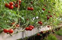 برداشت محصولات تولیدی گلخانههای خاش آغاز شد