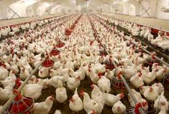 تولید سالانه ٧٨ هزار تن مرغ در استان