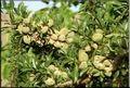 رکورد دار تولید بادام مامایی کشور کجاست ؟