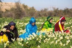 شروع جشنواره نرگس در بهبهان