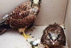 رهاسازی سه بهله پرنده شکاری توسط یگان حفاظت محیط زیست سیستان و بلوچستان