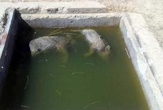 کشف گراز مرده  در منبع آب