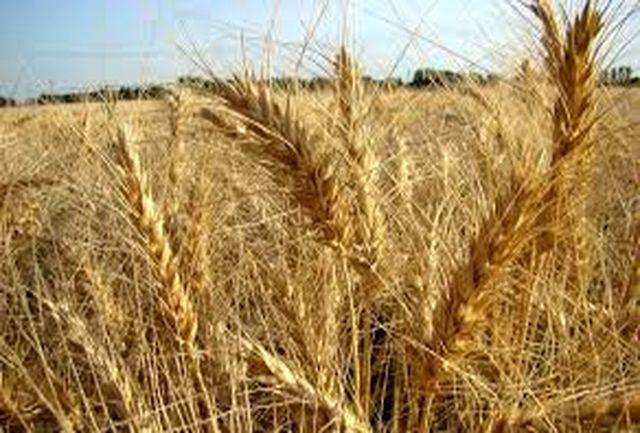 افزایش تولید گندم با بذر اصلاح شده، با وجود کاهش سطح کشت