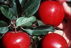 مصوبه برقراری عوارض برای صادرات سیب درختی لغو شد
