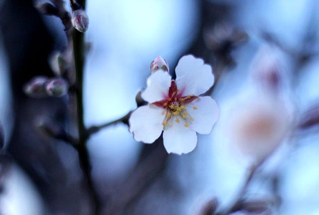 شکوفه کردن درختان بادام در چله زمستان