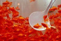 ماهی قرمز گیلان بدون علائم بیماری