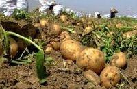 صادرات سیب زمینی از گمرک بیله سوار آغاز شد