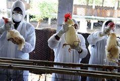 ماجرای مرگ به علت آنفلوانزای پرندگان واقعیت دارد؟