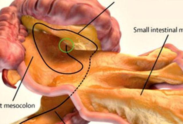 کشف یک عضو جدید در داخل بدن انسان!