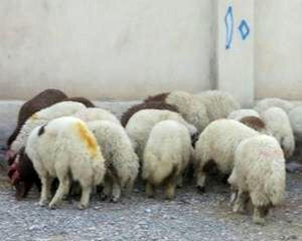 ۲۷ رأس احشام قاچاق در خمیر